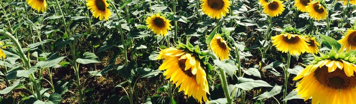 Sonnenblumen-mittel-grün-gelb